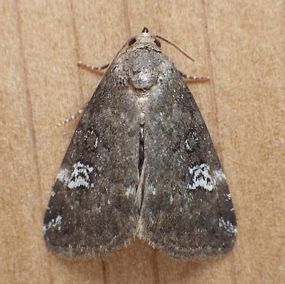 Noctuidae: Anterastria teratophora - Anterastria teratophora