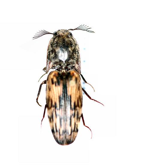 Elateridae - Pherhimius fascicularis