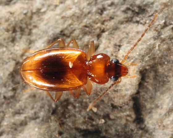 Carabid - Tachys scitulus