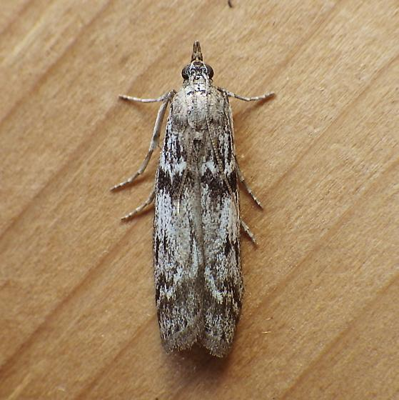 Pyralidae: Zophodia grossulariella? - Zophodia grossulariella
