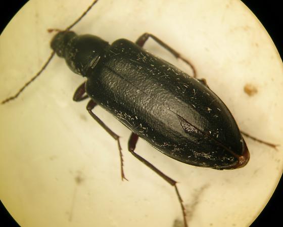 Darkling Beetle - Eupsophulus castaneus
