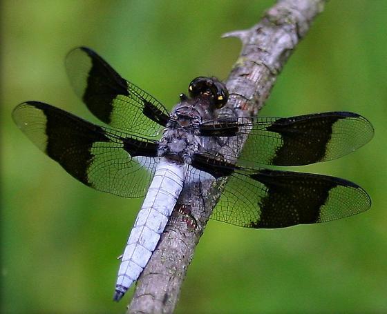 8 Spots - Plathemis lydia - male
