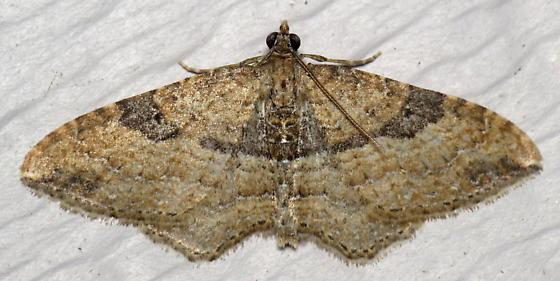 Gem Moth - Orthonama obstipata - male