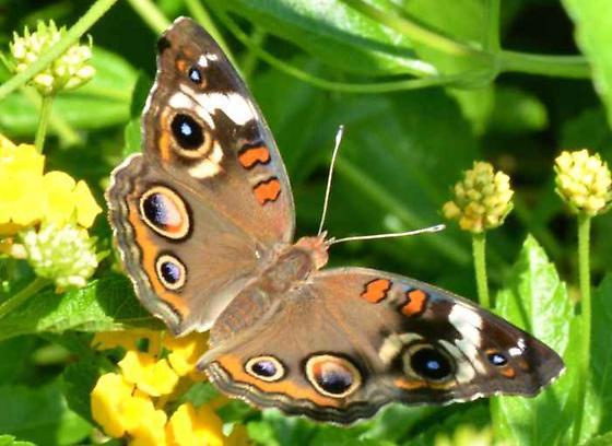 Common Buckeye - Junonia coenia - female