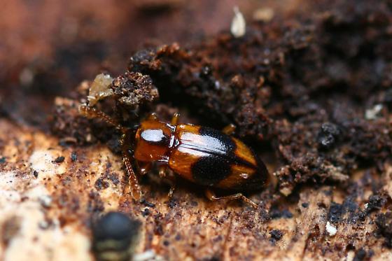 very tiny fungus beetle?  - Phymaphora pulchella