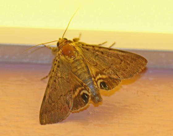 Moth_ - Litoprosopus futilis