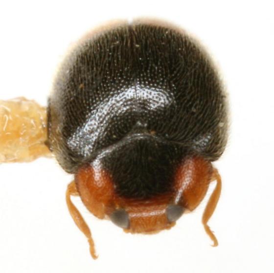 Scymnus (Pullus) rubricaudus Casey - Scymnus rubricaudus