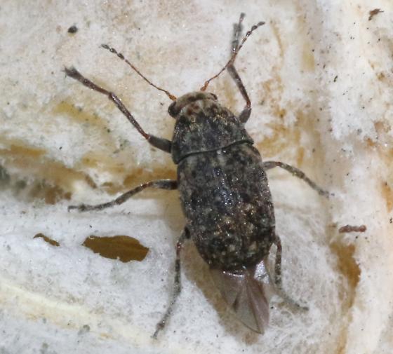 Anthribidae? - Araecerus fasciculatus