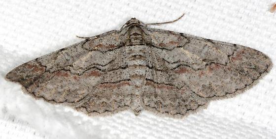 Iridopsis humaria - Small Purplish Gray ? - Iridopsis - female