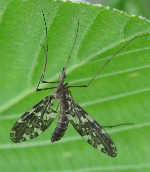 Primitive crane fly - Protoplasa fitchii