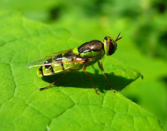 Stratiomyidae - Odontomyia cincta - female