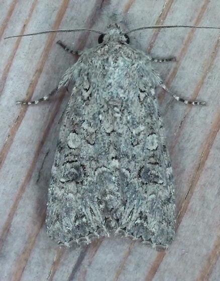 Noctuidae: Anarta trifolii? - Anarta trifolii