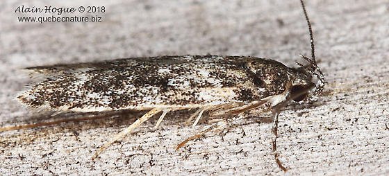 Gelechiidae ? - Gelechia lynceella