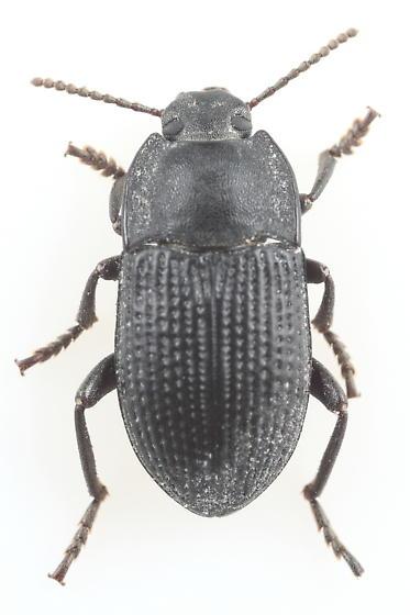 Tenebrionid - Alaetrinus