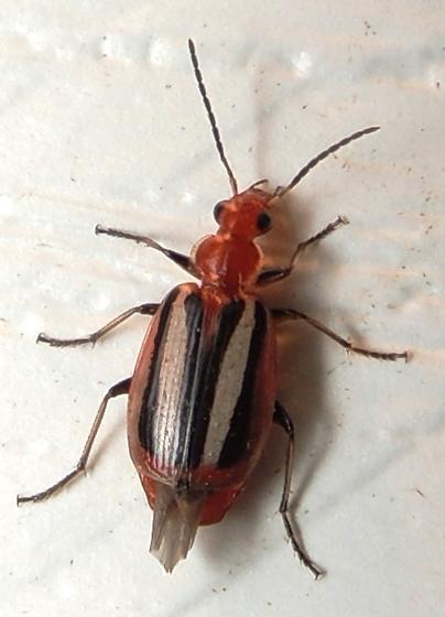 red white and black Colorful foliage ground beetle - Lebia vittata