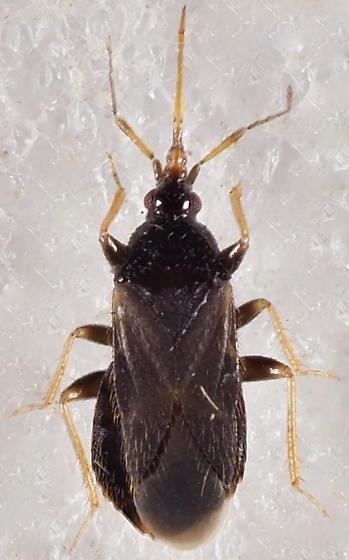 Lasiochilidae perhaps? - Dilasia fuscula