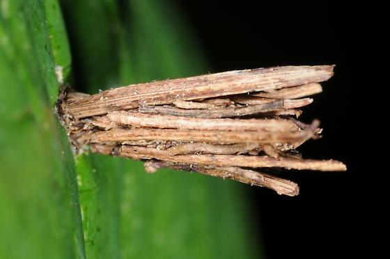 Bagworm - Psyche casta