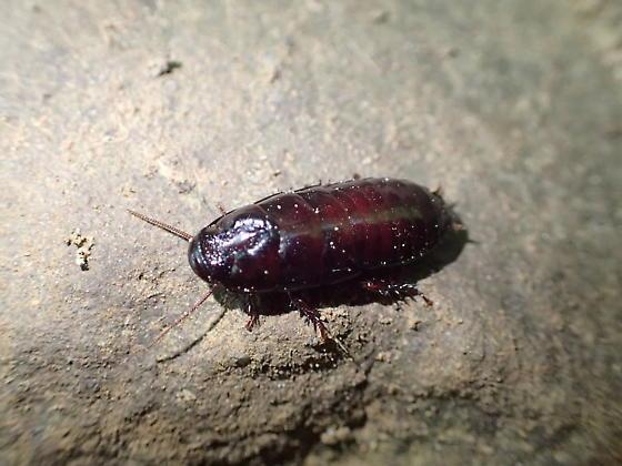 Cockroach  - Cryptocercus wrighti
