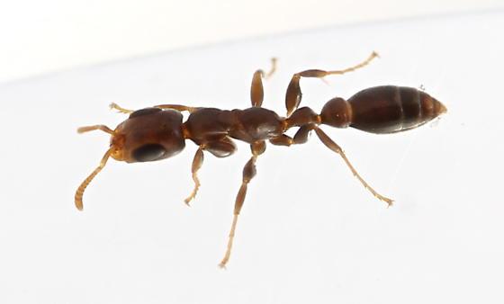 Pseudomyrmex cubaensis - female