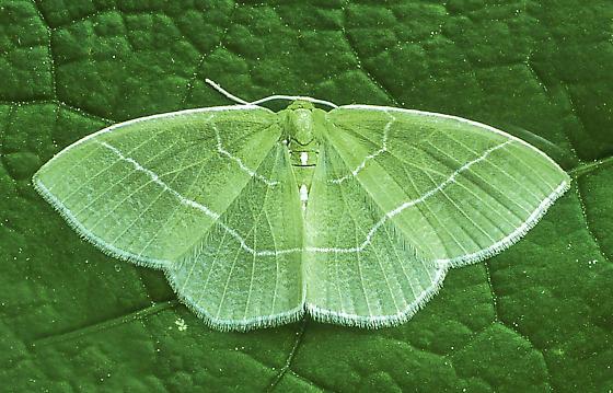 Nemoria mimosaria - female