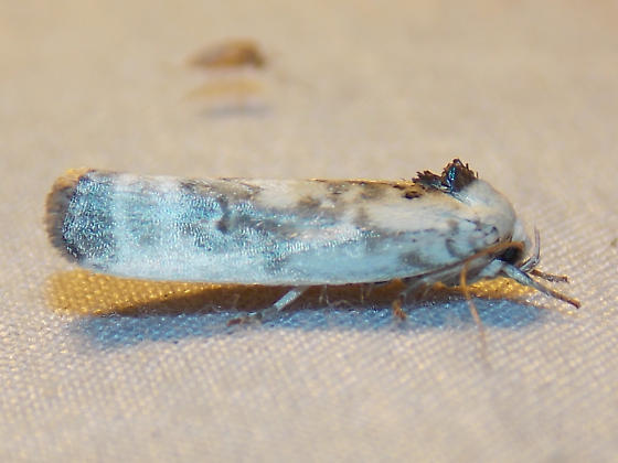 Schlaeger's Fruitworm - 1011 - Antaeotricha