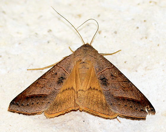 Please help us to identify this moth. - Mocis marcida