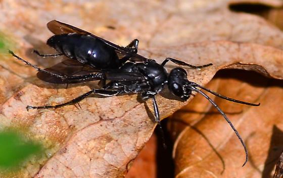 black spider wasp - Priocnemis minorata - female