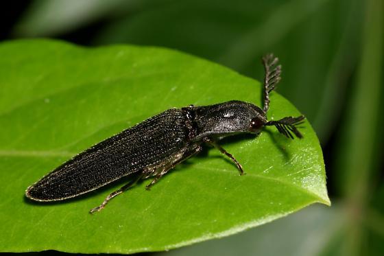 Bipectinate Click Beetle - Pityobius anguinus - Pityobius anguinus