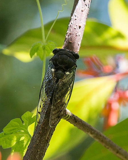Giant flying insect from Florida - Neotibicen tibicen