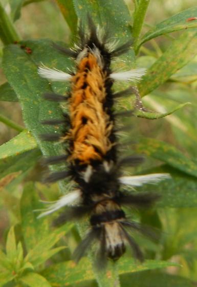 Tufted orange black and white caterpillar - Euchaetes egle