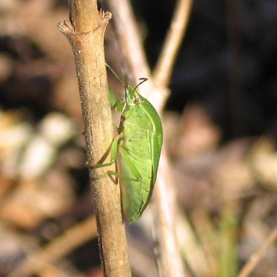 Green Stink Bug - Acrosternum hilare?