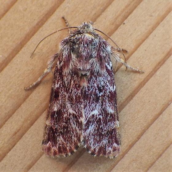 Noctuidae: Schinia lucens - Schinia lucens