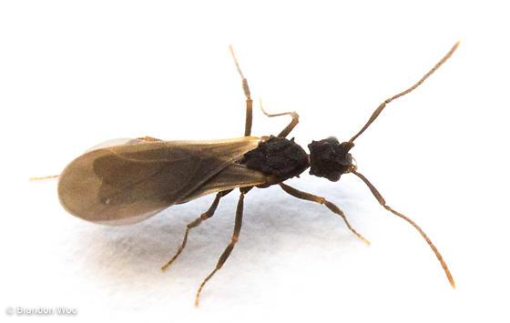 Cyphomyrmex rimosus - male