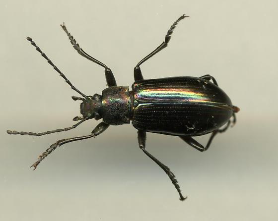 Ground Beetle - Tarpela micans