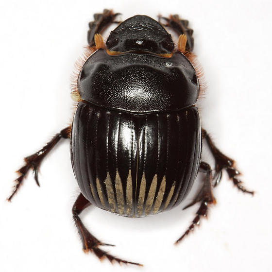 Dichotomius colonicus (Say) - Dichotomius colonicus