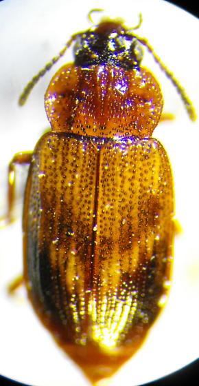 Unknown Beetle 1 - Deinopteroloma subcostatum