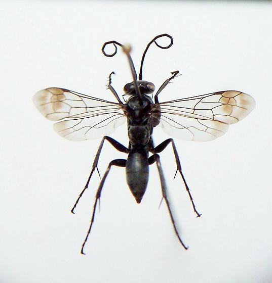 Agenioideus humilis - female