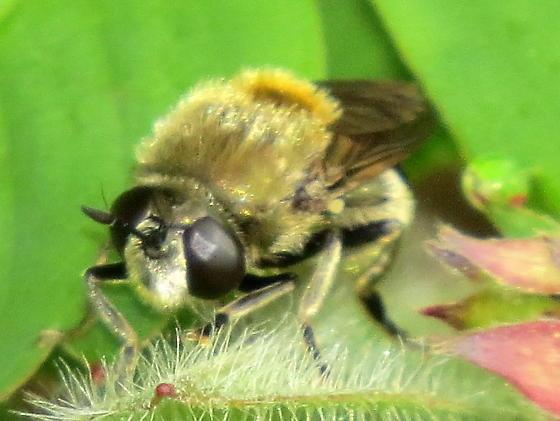 I'm stuck - Syrphidae or Asilidae ? - Microdon manitobensis - female