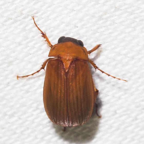 Black-headed orange scarab - Nipponoserica peregrina