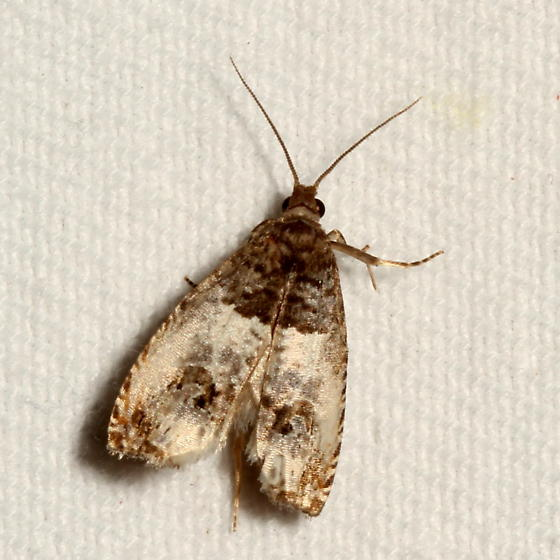 Moth - Notocelia rosaecolana