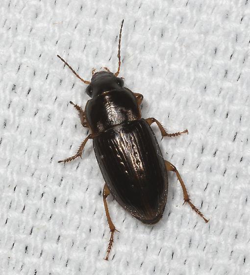 Punctate Carabid - Selenophorus palliatus