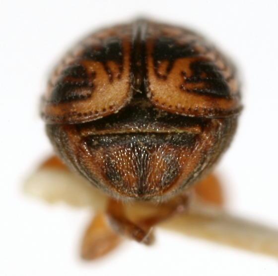 Pachybrachis brevicornis Fall - Pachybrachis brevicornis