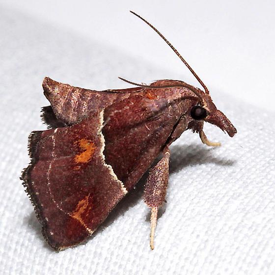 Penthesilea sacculalis - Hodges# 5555 - Penthesilea sacculalis