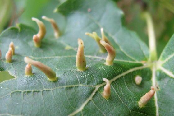 Maple spindlegall mite? - Vasates aceriscrumena