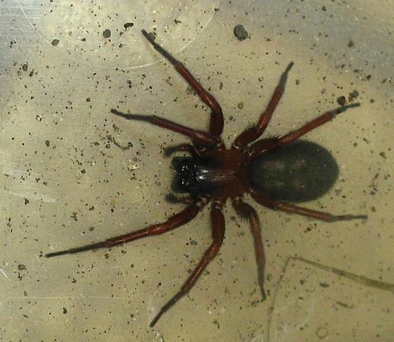 Sac spider - Callobius