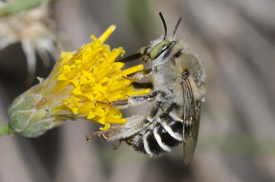 California Digger Bee - Anthophora californica