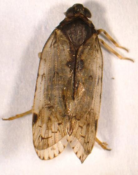 Cixiid - Cixius basalis - female