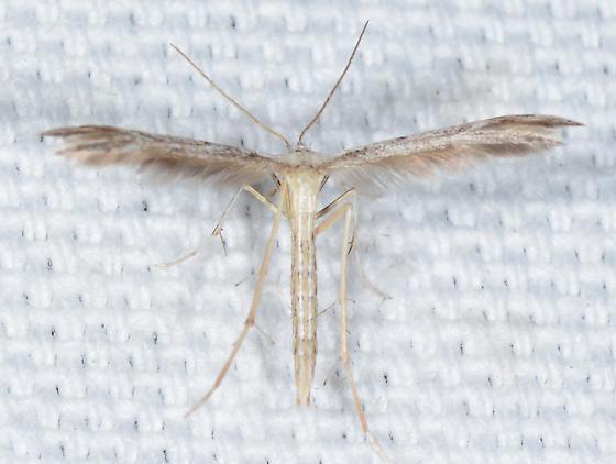 Belfrage's Plume Moth?