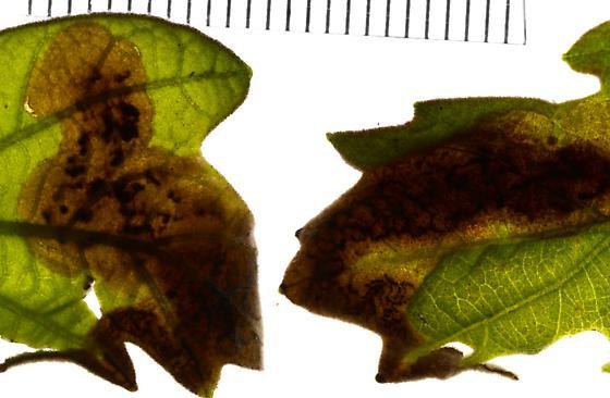oak shothole miner from Quercus stellata - Japanagromyza viridula