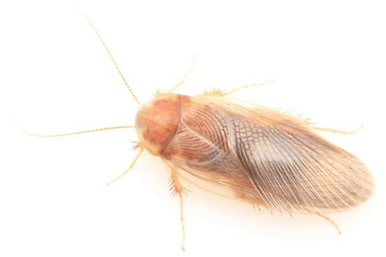 Cockroach - Eremoblatta subdiaphana